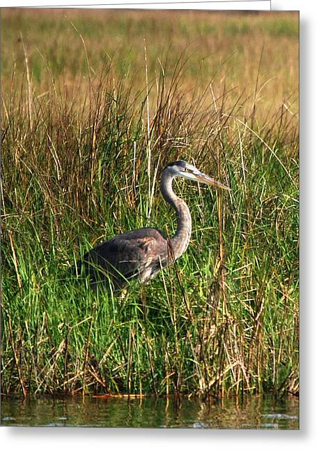 Good Morning - Blue Heron Greeting Card by Linda Mesibov