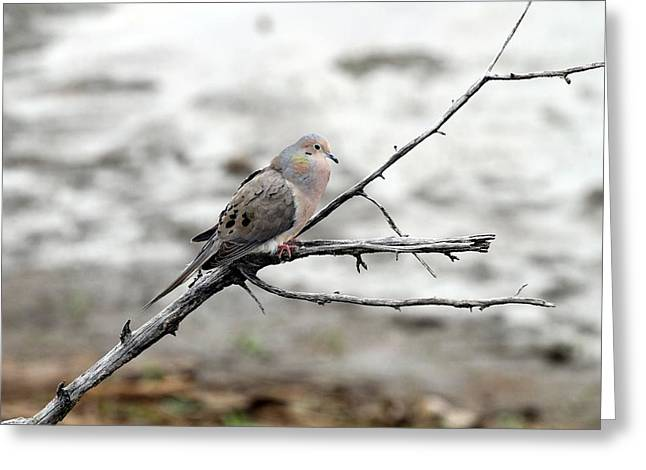 Greeting Card featuring the photograph Good Morning Dove by Elizabeth Winter