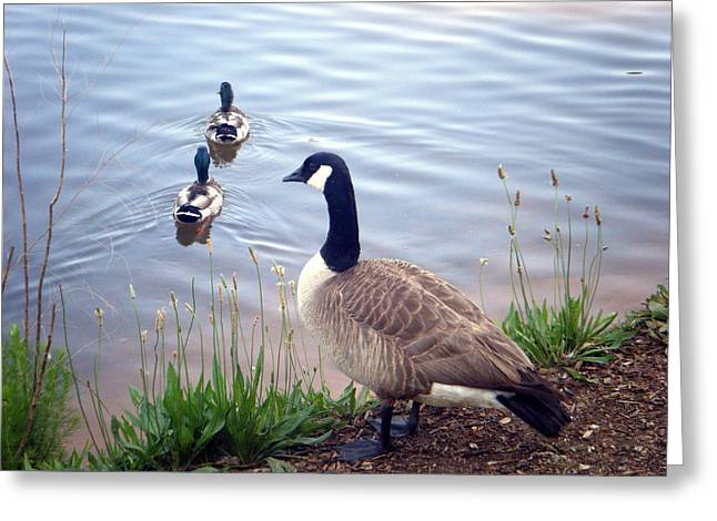 Goose And Ducks Greeting Card by Kelly Hazel
