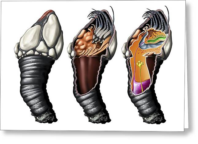 Goose Barnacle Anatomy, Artwork Greeting Card by Jose Antonio PeÑas