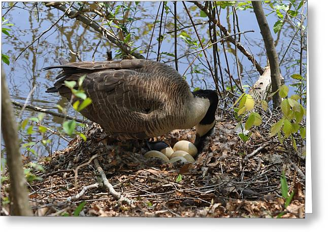 Goose Changing Egg Position - C0309a Greeting Card