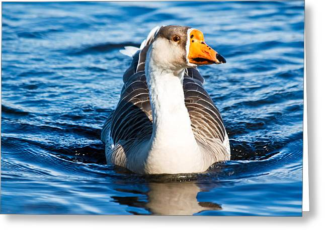 Goose Coming Into Shore  Greeting Card by Ann Murphy