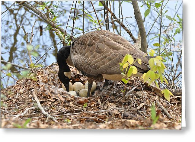 Goose On Mounded Nest  - C0383a Greeting Card