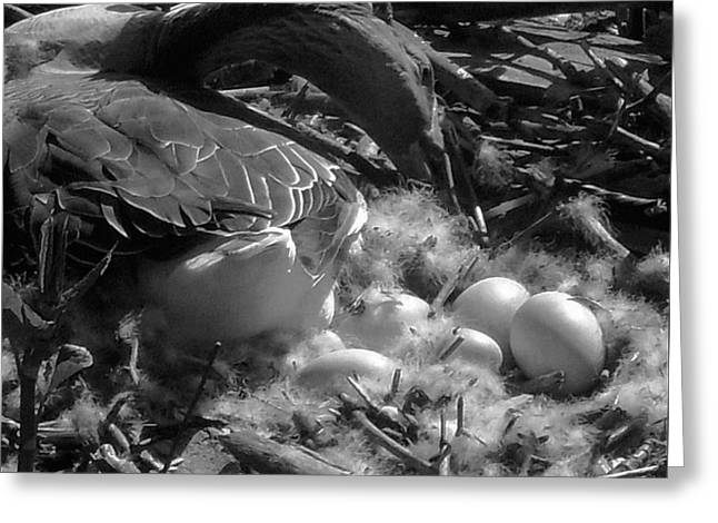 Eggs - Goose Greeting Card