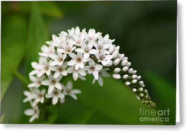 Gooseneck Flowers And Buds Greeting Card