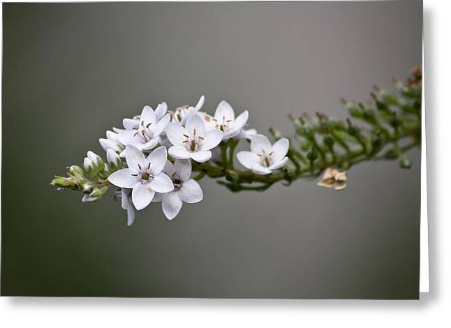 Gooseneck Loosestrife II Greeting Card