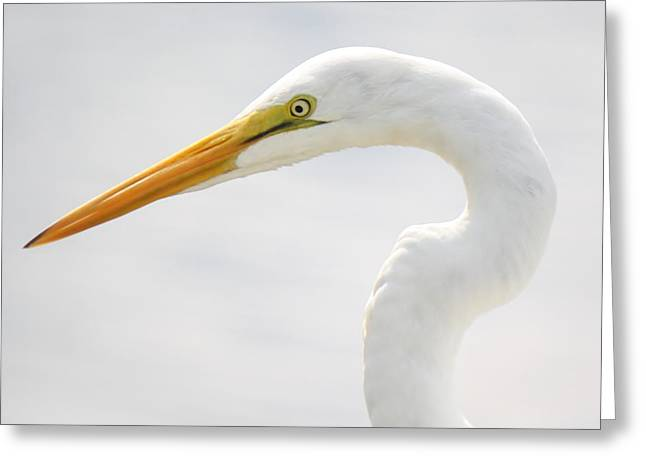 Gorgeous Great White Egret Greeting Card by Paulette Thomas