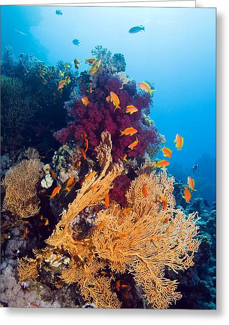 Gorgonian And Soft Coral Greeting Card by Georgette Douwma