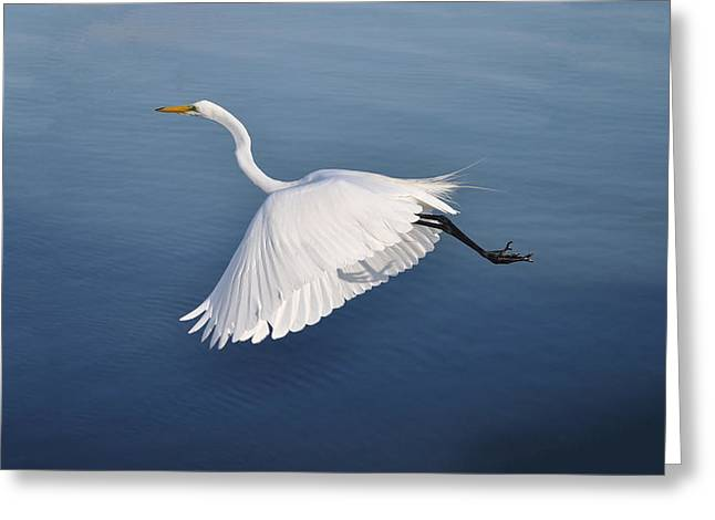 Graceful Flying Egret Greeting Card by Bill Cannon
