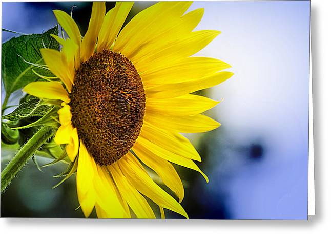 Graceful Sunflower Greeting Card by Trudy Wilkerson