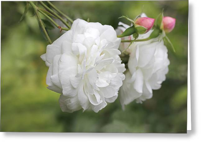 Graceful White Rose And Pink Rosebuds Greeting Card by Jennie Marie Schell
