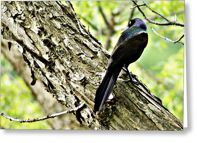 Grackle 1 Greeting Card by Joe Faherty