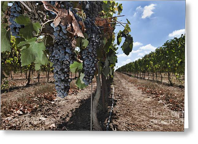 Grapes Hanging On Vine Greeting Card by Noam Armonn