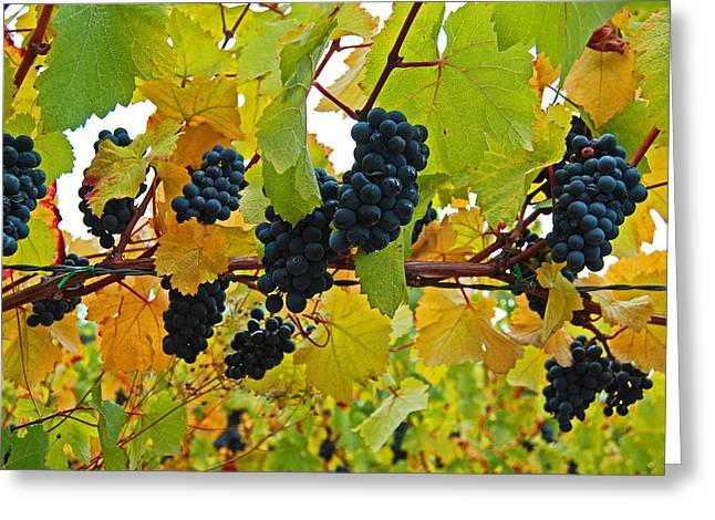 Grapes On The Vine Greeting Card by Jani Freimann