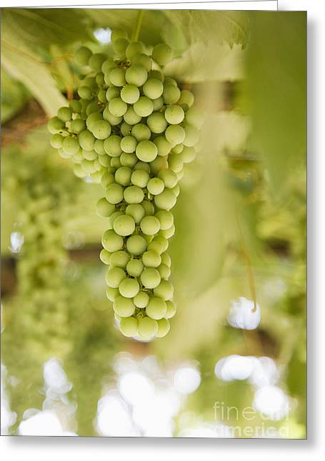 Grapes On Vine Greeting Card by Andersen Ross