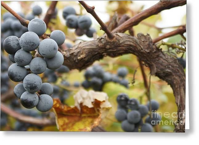 Grapes On Vine Greeting Card by Dennis Faucher
