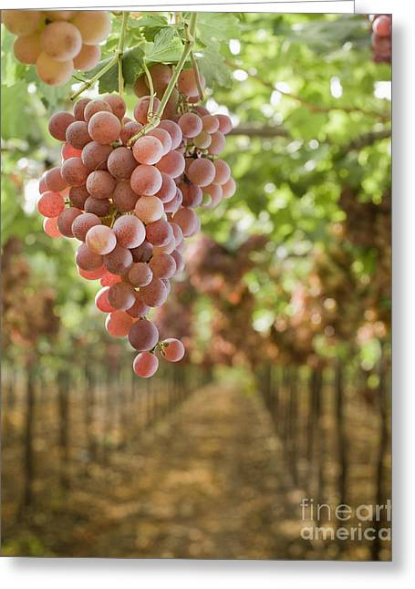 Grapes On Vine In Vineyard Greeting Card by Noam Armonn