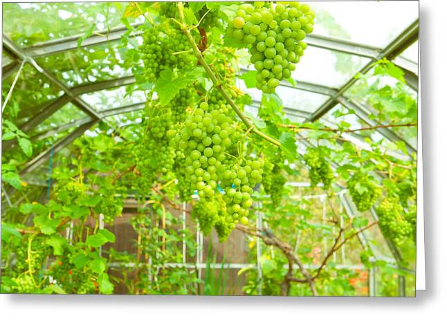 Grapevine Greeting Card by Tom Gowanlock
