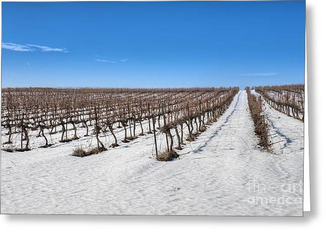Grapevines In Snow Greeting Card by Noam Armonn