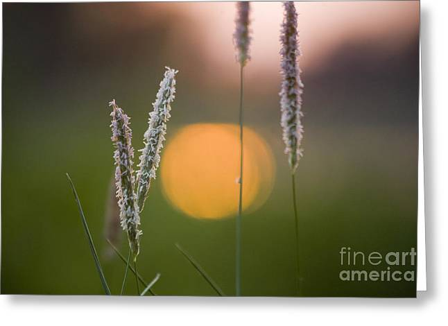 Grass Blooming Greeting Card by Heiko Koehrer-Wagner