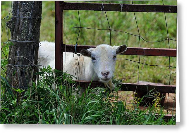 Grass Is Greener Goat - C0999a Greeting Card by Paul Lyndon Phillips