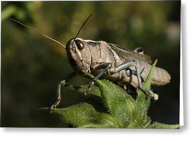 Grasshopper 2 Greeting Card by Ernie Echols