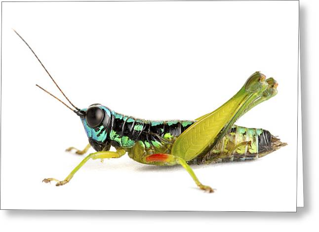 Grasshopper Barbilla Np Costa Rica Greeting Card by Piotr Naskrecki