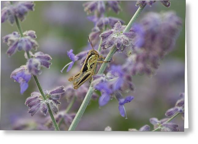 Grasshopper Greeting Card by Michel DesRoches