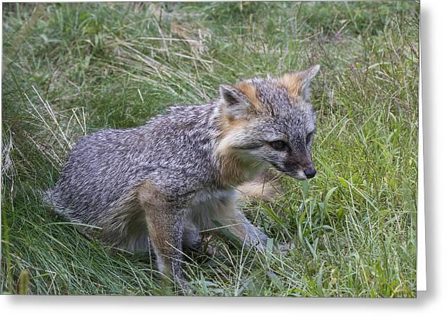 Gray Fox Greeting Card by Chuck Homler