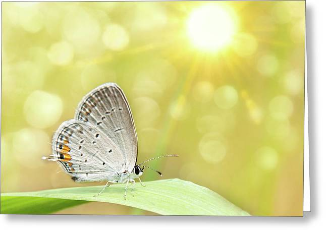 Gray Hairstreak Butterfly  Greeting Card