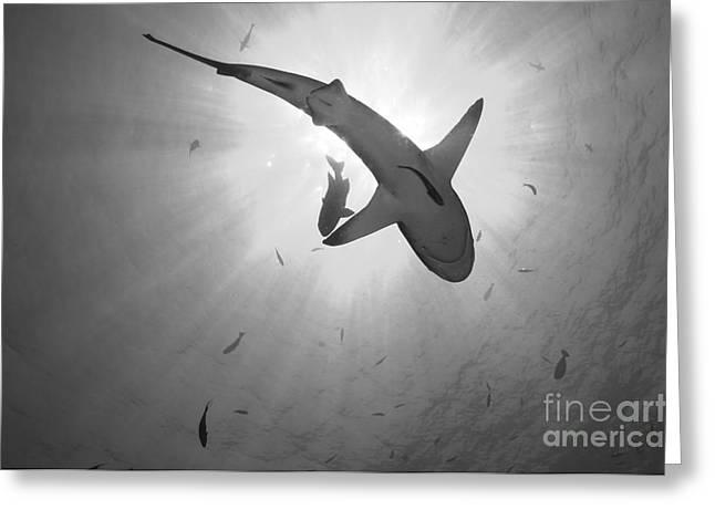 Gray Reef Shark, Kimbe Bay, Papua New Greeting Card