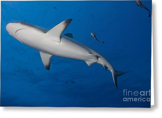 Gray Reef Shark With Remora, Papua New Greeting Card by Steve Jones