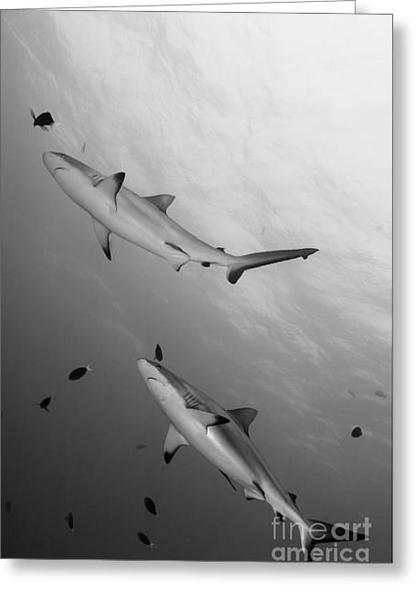 Gray Reef Sharks. Papua New Guinea Greeting Card by Steve Jones