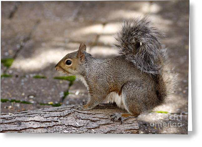 Greeting Card featuring the photograph Gray Squirrel by Denise Pohl