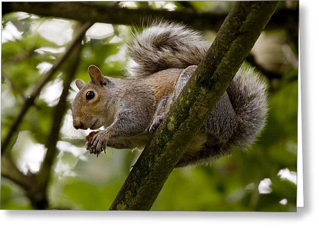 Gray Squirrel On A Tree Branch Greeting Card