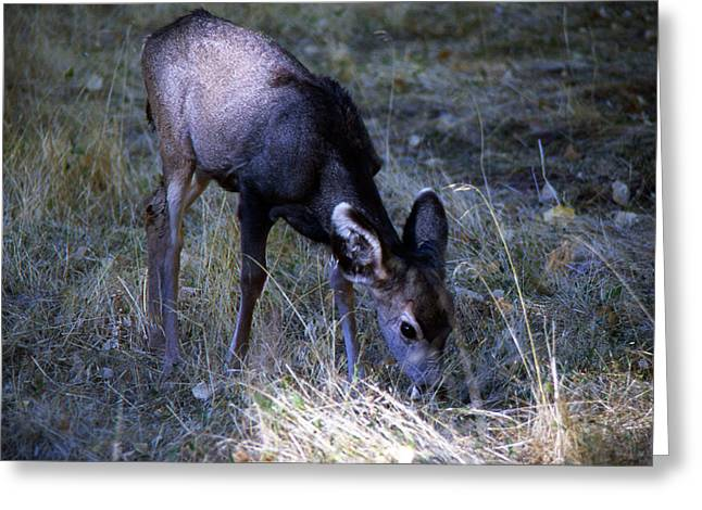 Greeting Card featuring the photograph Grazing Fawn by Gary Brandes