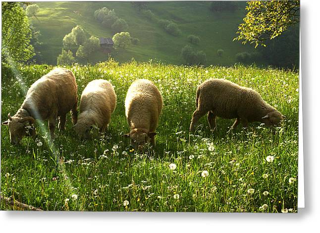 Grazing Sheep Greeting Card by Emanuel Tanjala