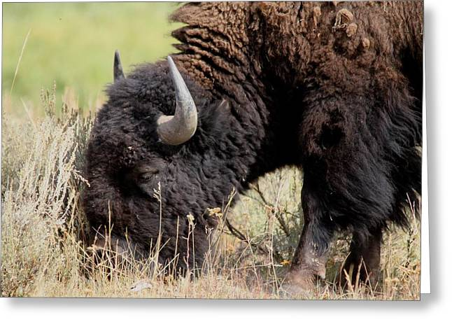 Grazing The Yellowstone Valley Greeting Card by David Dunham