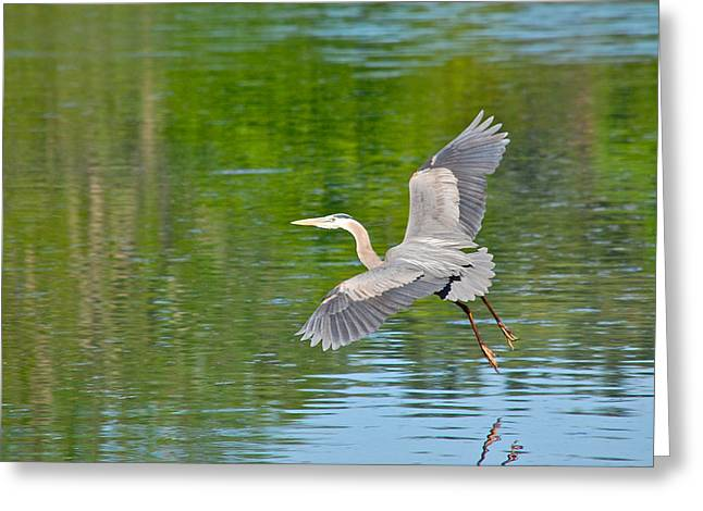 Great Blue Heron - Where To Now Greeting Card