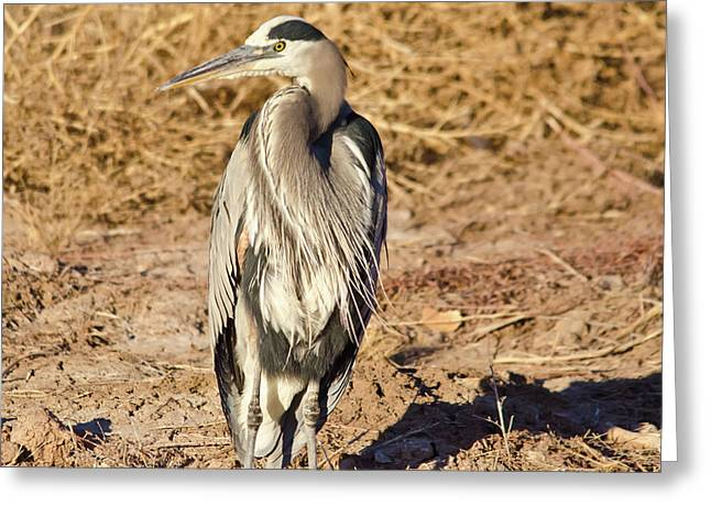 Great Blue Heron 1 Greeting Card by Harry Strharsky