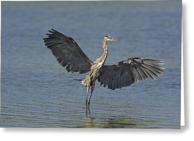 Great Blue Heron Ardea Herodias Flies Greeting Card