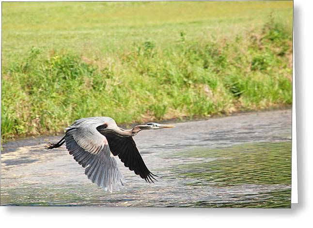 Great Blue Heron Begins Flight Greeting Card