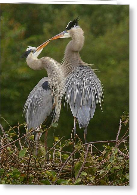 Greeting Card featuring the photograph Great Blue Heron Couple by Myrna Bradshaw