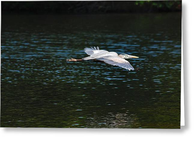 Great Blue Heron Illuminated Greeting Card