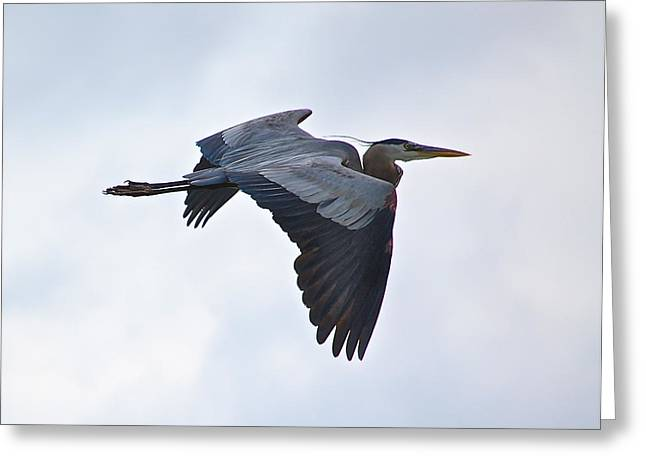 Great Blue Heron In Cloudy Sky Greeting Card