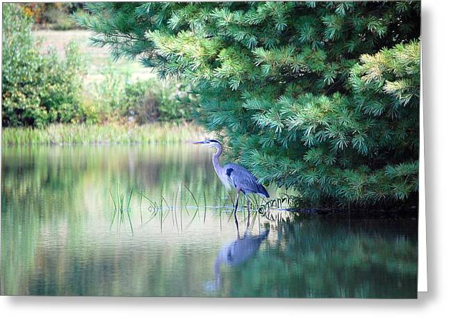 Great Blue Heron In Pines Greeting Card