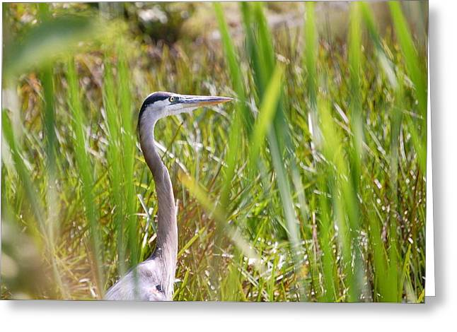 Greeting Card featuring the photograph Great Blue Heron In Reeds by Mary McAvoy