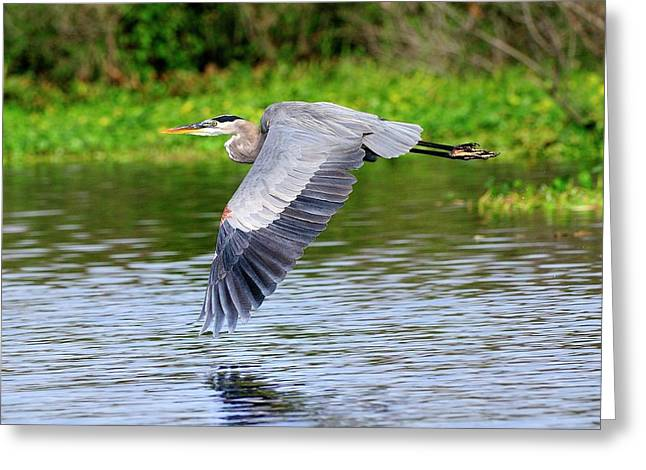 Great Blue Heron Inflight Greeting Card