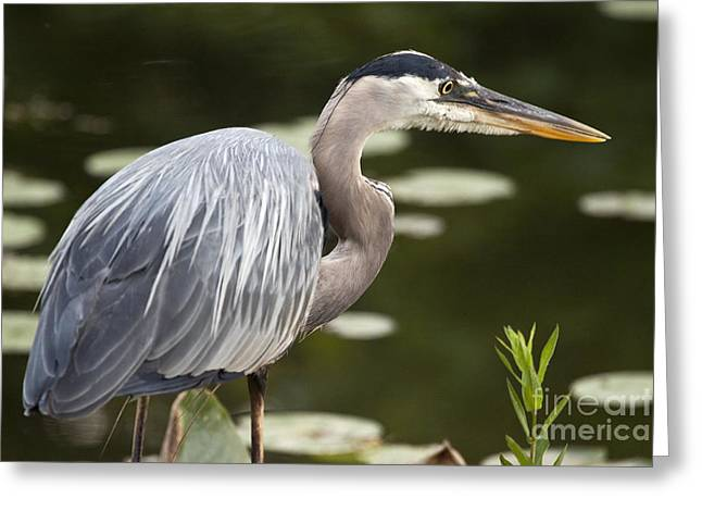Great Blue Heron  Greeting Card by Jeannette Hunt