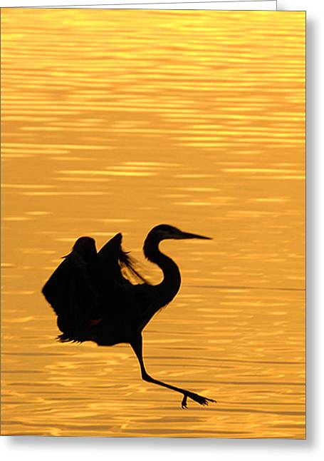 Greeting Card featuring the photograph Great Blue Heron Landing In Golden Light by Randall Branham